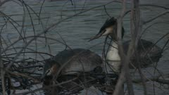 Pair of Great crested grebes resting on a lake, Ticino, Switzerland