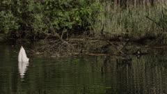 Mute swan feeding from the bottom of a lake, Ticino, Switzerland