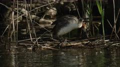Great crested grebe jumping on floating nest, Ticino, Switzerland