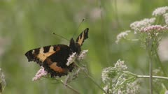 Small tortoiseshell butterfly feeding on flower, Ticino, Alps