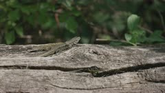 Common wall lizard sunbathing sunbathing on tree log, Ticino, Alps