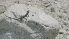 Common wall lizard sunbathing on stone in dried-out riverbed, Ticino, Alps