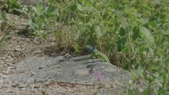 Western green lizard sitting/ looking around, Ticino, Alps