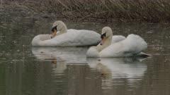 Pair of Mute swan on a lake, Ticino, Switzerland