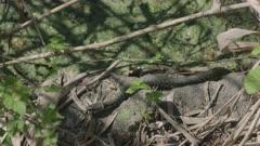 Grass snake wiggling/ winding, Ticino, Switzerland