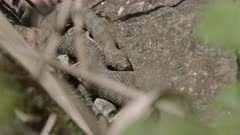 Dice snake sunbathing / hiding / resting on a stone, Ticino, Switzerland