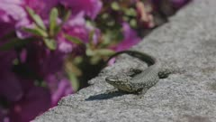 Common wall lizard sunbathing on wall near a Rhododendron, Ticino, Switzerland
