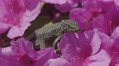 Common wall lizard on pink blooming Rhododendron