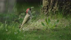 European green woodpecker foraging on a meadow