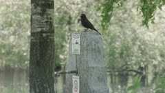 Common blackbird singing on a water well