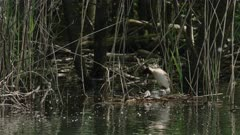 Great crested grebes mating on nest