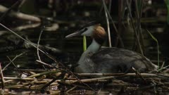 Great crested grebe biulding / repairing nest