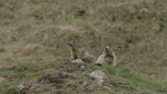 Alpine Marmots lokking around / keeping watch in the Swiss Alps