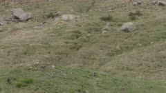 Alpine Marmots walking / foraging in the Swiss Alps