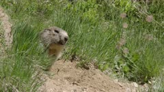 Alpine Marmot looking out of burrow, Swiss Alps