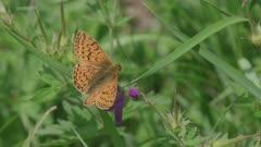 High brown fritillary (?)  butterfly on purple flower