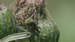 Oak spider and copulating weevils on a thistle