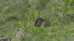 Rain-soaked Alpine Marmot feeding in the Swiss Alps.