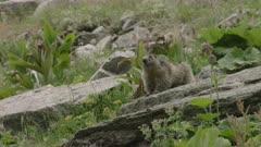 Vigilant Alpine Marmot looking around in the Swiss Alps