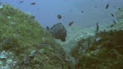 Dusky Grouper at Mediterranean Reef
