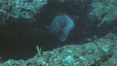 Big Dusky Grouper swims over Mediterranean Reef Landscape
