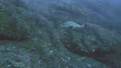 Dusky Grouper swims in Mediterranean landscape full of sea grass