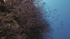 Beautiful reef wall with corals and schooling fish in Mediterranean Sea