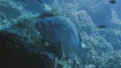 Dusky grouper rests in mediterranean Reef landscape