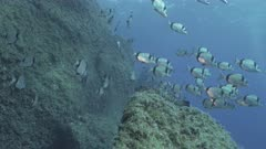Dusky Grouper surrounded by schooling sea breams, Mediterranean Sea