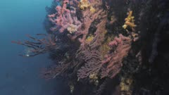 Beautiful reef wall in Mediterranean Sea full of Red Gorgonians
