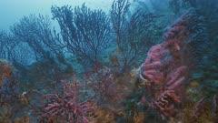 Group of Red Gorgonias in Mediterranean Sea