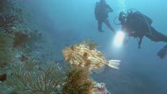 Scuba divers meet seldom John Dory fish in Mediterranean Reef
