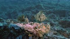 Seldom John Dory swims at Mediterranean Reef wall