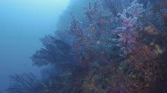 Reef wall full of Red Gorgonians in Mediterranean Sea