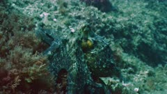 Octopus in camouflage moves over reef landscape.
