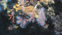 Red Corals in Mediterranean Sea