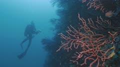 Scuba Diver swims along prolific Mediterranean Reef wall