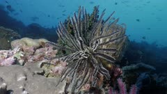 Feather Starfish in coral reef wall, Indonesia