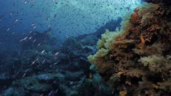 Pristine coral reef wall in Indonesia