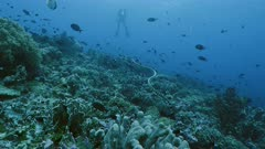 Wide shot of Banded Sea Krait ascending on Reef top, Indonesia