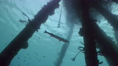 Wide shot of Great Barracuda swimming under Pier, Bonaire