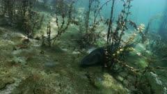 Zander in Freshwater Lake landscape