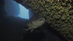 Huge Dusky Grouper in mediterranean underwater cave