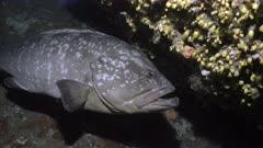 Big Grouper in mediterranean under water Cave
