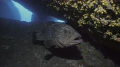 Two Groupers in mediterranean Cave, underwater shot