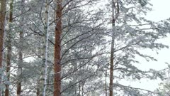 Snowing in boreal pine forest in Finland.