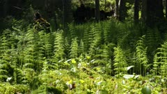 Puzzlegrass growing at boreal spruce swamp in Finland.