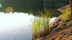 Tufted sedge (Carex elata) shore plant growing at rocky shore of a calm lake in Finland.