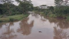 Aerial drone view of Hippos in Kenyan river landscape in Laikipia, Kenya