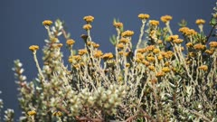 Yellow wild flowers bloomed in the savannah, Kenya, on a bright sunny day